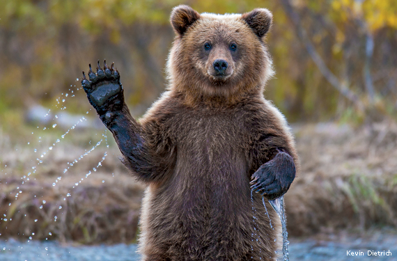 brown-bear-cub-waving-Kevin-Dietrich-570x375