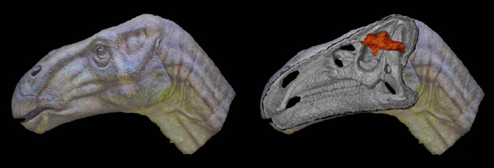 A koponyaüreg helyzete és mérete az Iguanodon dinoszauruszfajban. Forrás: 1.