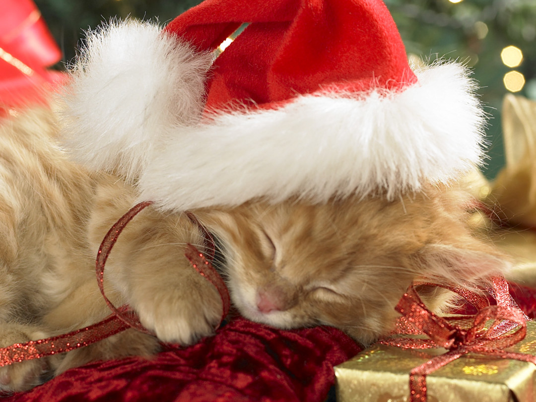 Orange tabby kitten cat with red santa hat on sleeping on in Christmas packages and Christmas tree in background.