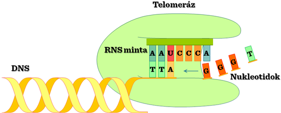 telomeráz